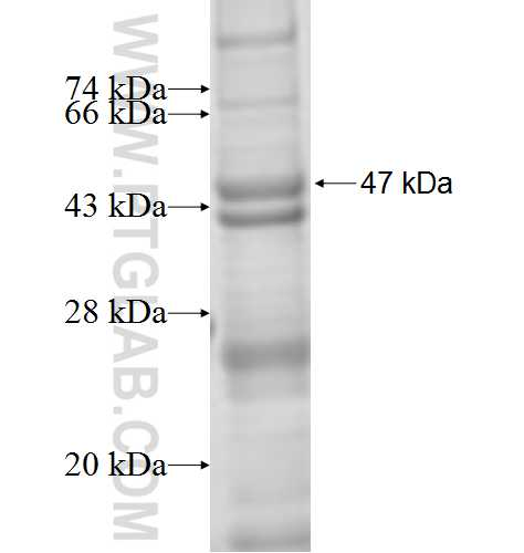 Connexin 43 fusion protein Ag6698 SDS-PAGE