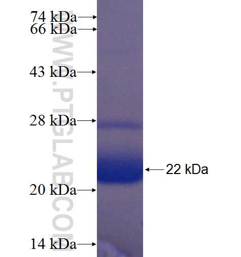 GLE1 fusion protein Ag24275 SDS-PAGE