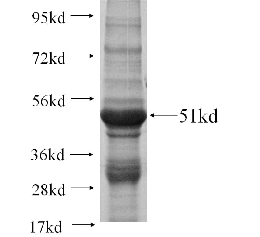 GLRA1 fusion protein Ag12431 SDS-PAGE