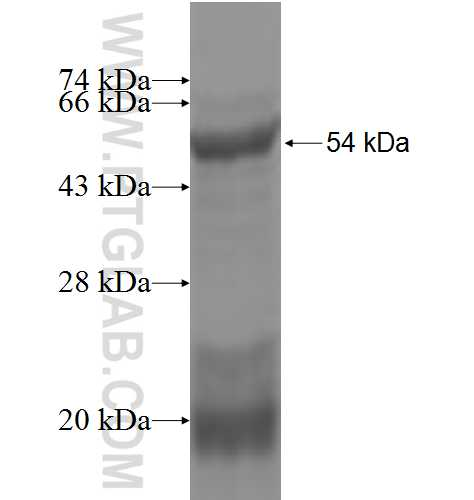 GLRA2 fusion protein Ag4743 SDS-PAGE