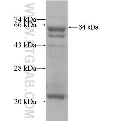 GLUD2 fusion protein Ag5748 SDS-PAGE