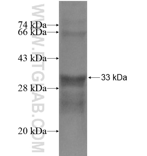 GLUT4 fusion protein Ag15390 SDS-PAGE