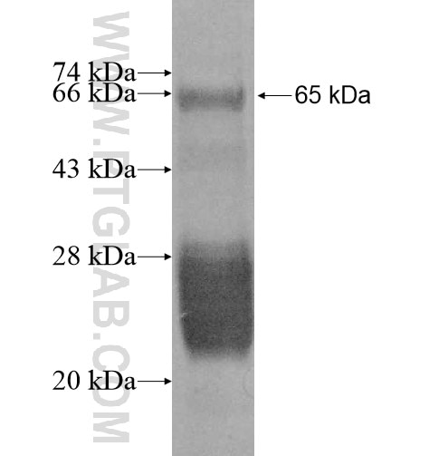 GMCL1L fusion protein Ag10873 SDS-PAGE