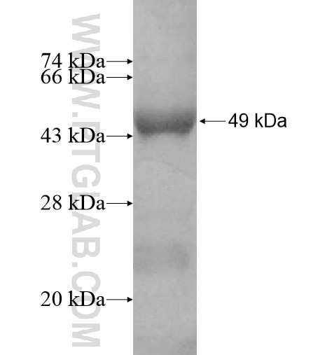 GOT1L1 fusion protein Ag10831 SDS-PAGE