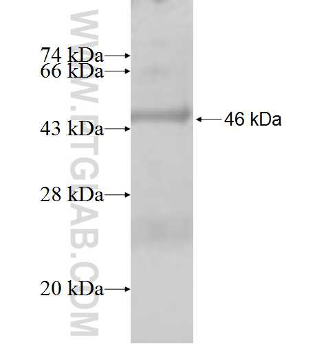 GPLD1 fusion protein Ag9782 SDS-PAGE
