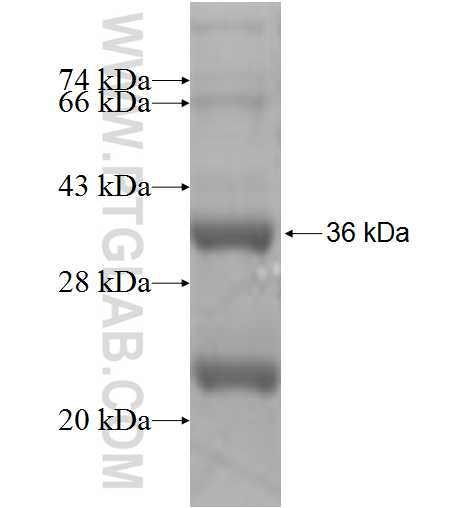 GPR17 fusion protein Ag4106 SDS-PAGE