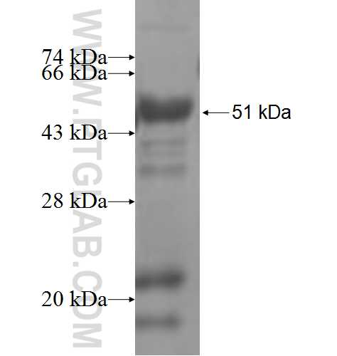 GPR37 fusion protein Ag6591 SDS-PAGE