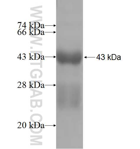 GREM2 fusion protein Ag4854 SDS-PAGE