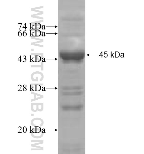 GRM3 fusion protein Ag5306 SDS-PAGE