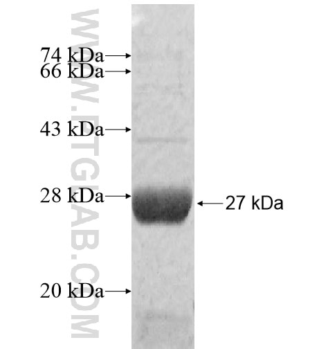 GSTA4 fusion protein Ag11206 SDS-PAGE