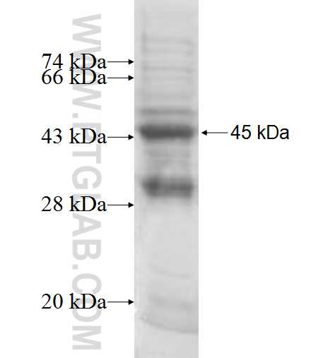 GTF2H2 fusion protein Ag8530 SDS-PAGE