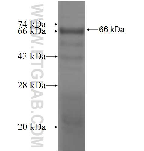 GUCY1B3 fusion protein Ag5078 SDS-PAGE