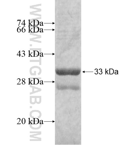 GZMH fusion protein Ag11741 SDS-PAGE