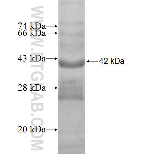 HAVCR2 fusion protein Ag2459 SDS-PAGE