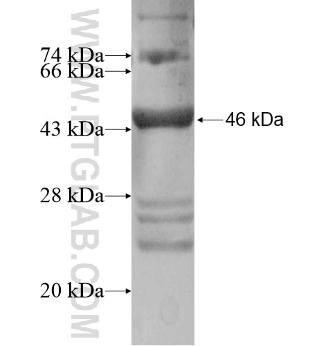 HHATL fusion protein Ag10585 SDS-PAGE