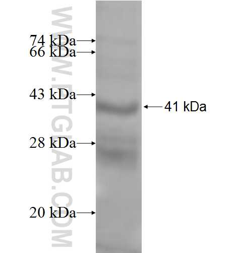 HLA-DPB2 fusion protein Ag9528 SDS-PAGE