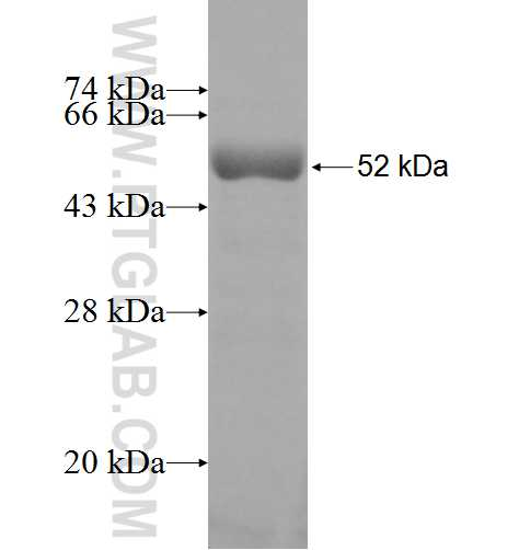 HOMER3 fusion protein Ag9923 SDS-PAGE