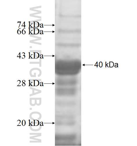 HTRA2 fusion protein Ag8455 SDS-PAGE