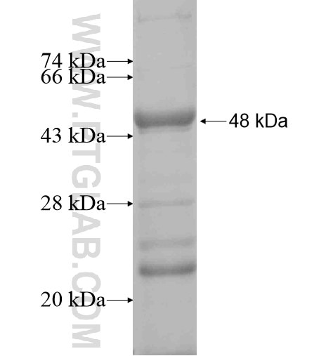 HYDIN fusion protein Ag10732 SDS-PAGE