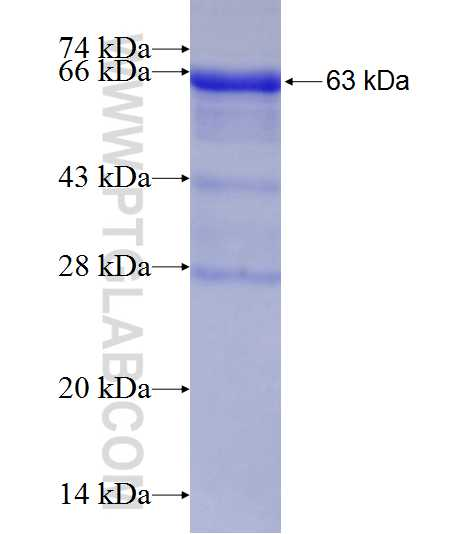 Human IgA fusion protein Ag2007 SDS-PAGE