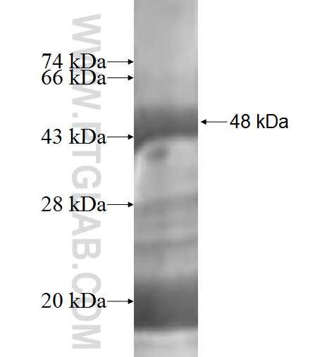 ICA1L fusion protein Ag2276 SDS-PAGE