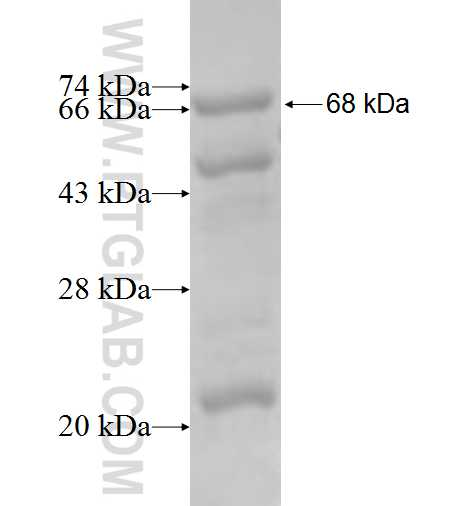 IDH3B fusion protein Ag7965 SDS-PAGE