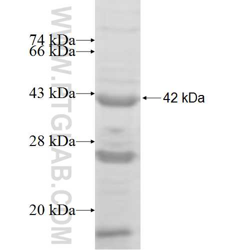 IGSF8 fusion protein Ag5994 SDS-PAGE