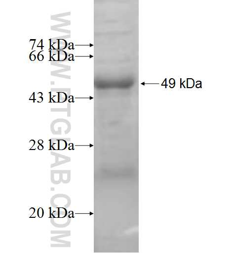 IL10RB fusion protein Ag7445 SDS-PAGE