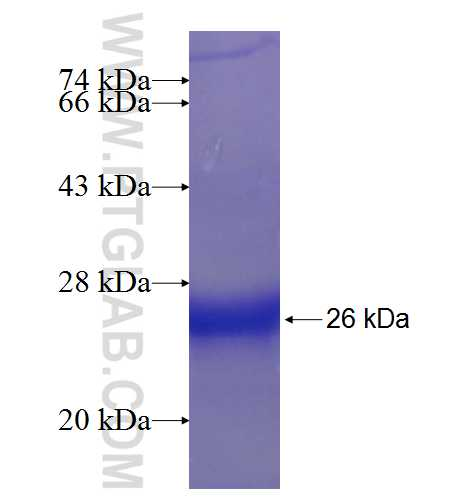 IL17D fusion protein Ag6762 SDS-PAGE