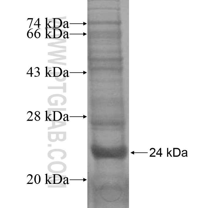 IL17F fusion protein Ag16310 SDS-PAGE