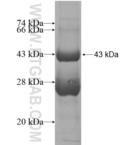 IL20 fusion protein Ag12447 SDS-PAGE