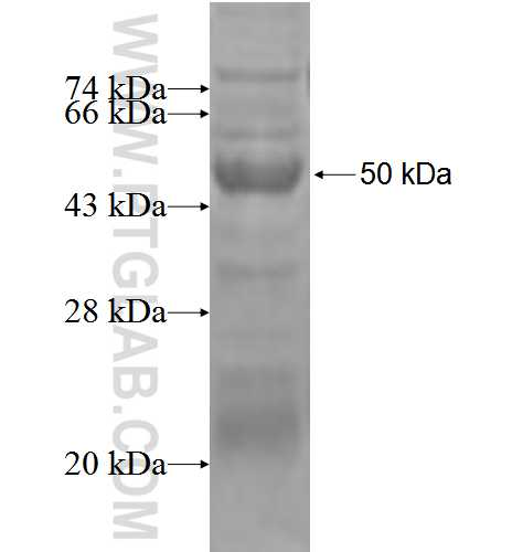 IL24 fusion protein Ag2701 SDS-PAGE