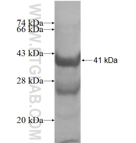 IL4 fusion protein Ag9871 SDS-PAGE