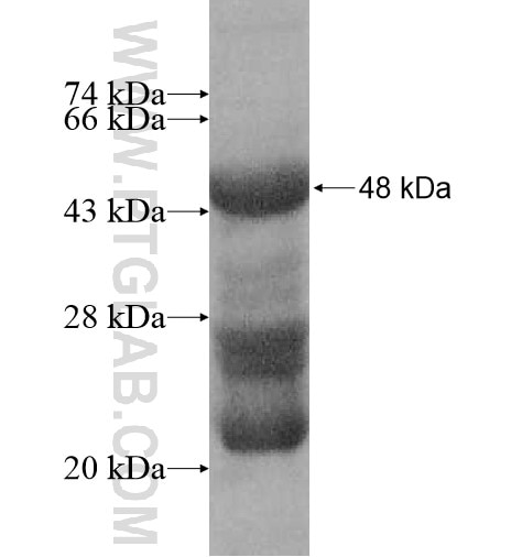 IL9R fusion protein Ag11033 SDS-PAGE