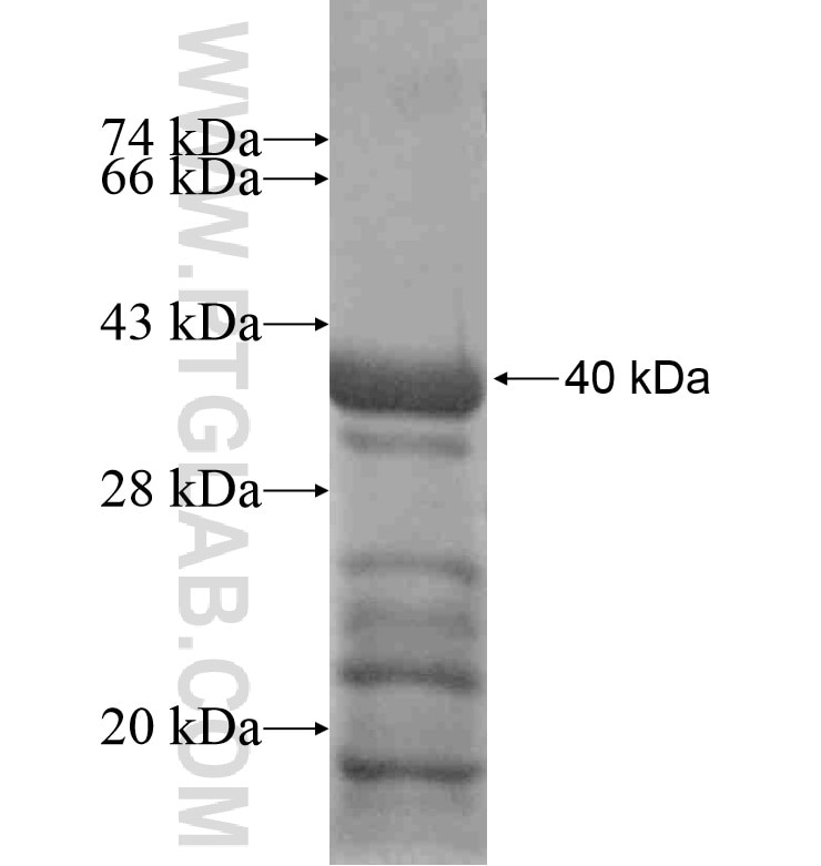 INHBA fusion protein Ag16700 SDS-PAGE