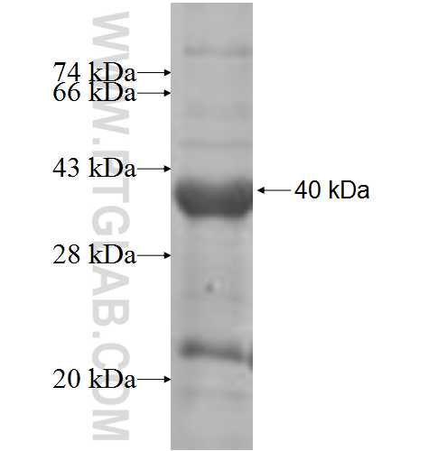 INPP5B fusion protein Ag7315 SDS-PAGE