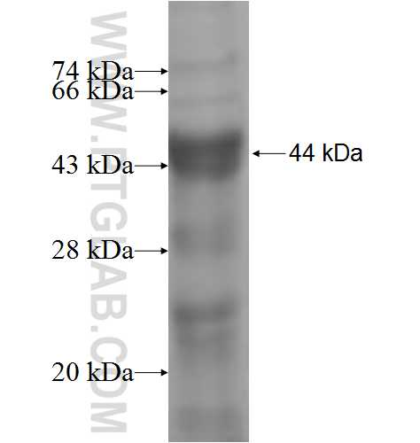IRAK3 fusion protein Ag5287 SDS-PAGE