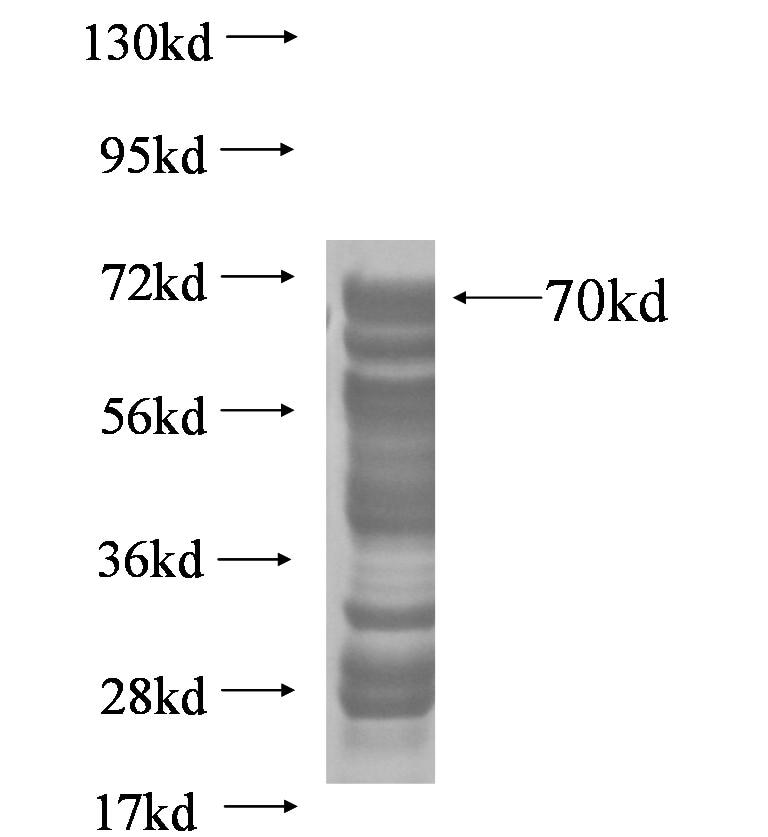 IRF9 fusion protein Ag5365 SDS-PAGE