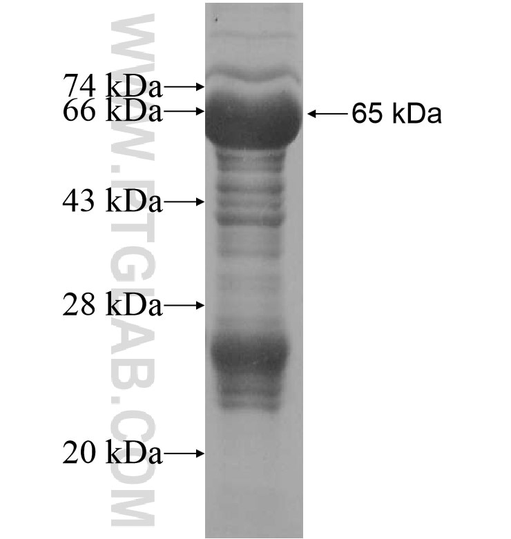 ISM2 fusion protein Ag16187 SDS-PAGE
