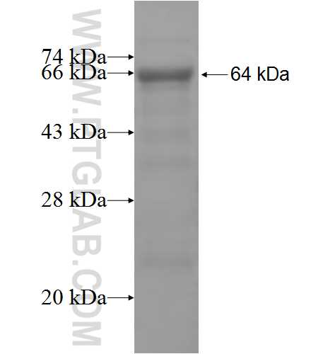 ISYNA1 fusion protein Ag5272 SDS-PAGE