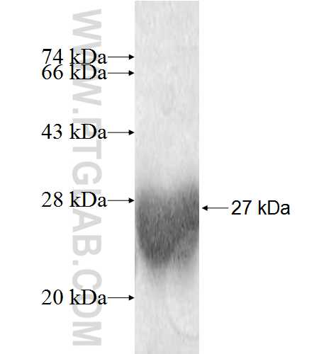 ITPA fusion protein Ag9262 SDS-PAGE