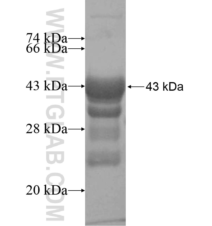 KCNA5 fusion protein Ag16397 SDS-PAGE