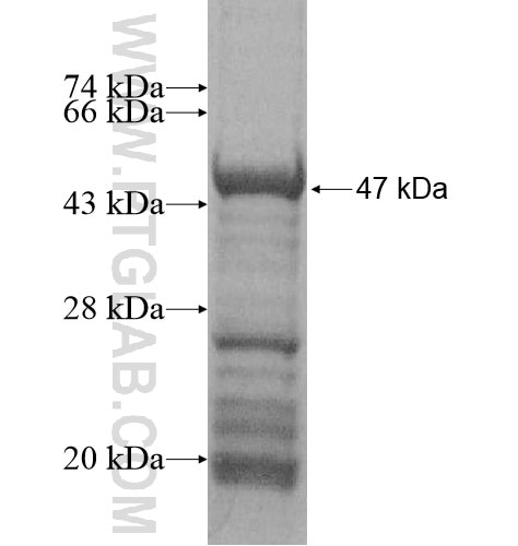 KCND2 fusion protein Ag15879 SDS-PAGE