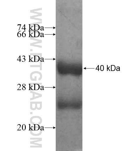 KCNE2 fusion protein Ag12336 SDS-PAGE
