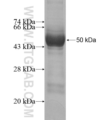 Kir6.2 fusion protein Ag10262 SDS-PAGE