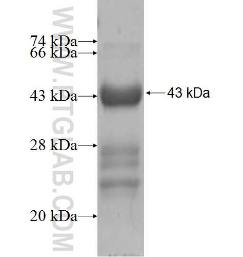 KCNMB4 fusion protein Ag5618 SDS-PAGE