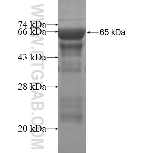 KIF3C fusion protein Ag5619 SDS-PAGE