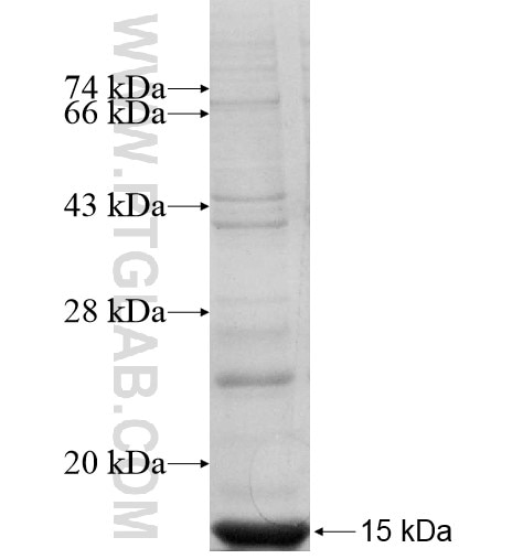KIR3DX1 fusion protein Ag11220 SDS-PAGE