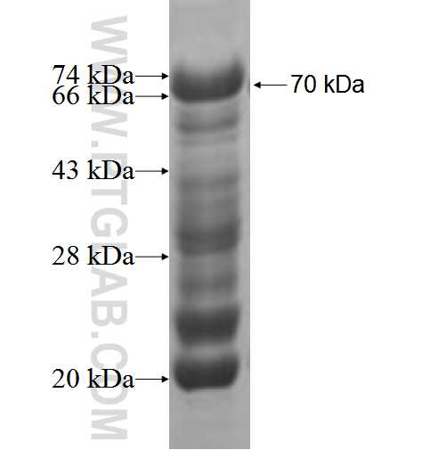 LCOR fusion protein Ag5851 SDS-PAGE