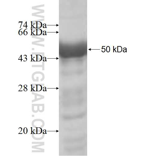 LCOR fusion protein Ag6087 SDS-PAGE